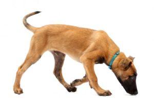 detection canine punaise de lit 2