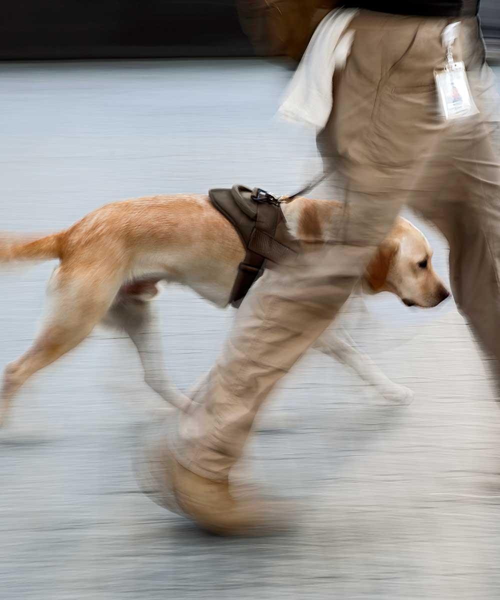 Le chien et son flair sont très utiles dans l'extermination des punaises de lit