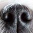 Le flair du chien renifleur, arme redoutable contre les punaises