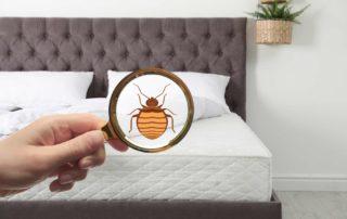 Les différences entre puces et punaises de lit
