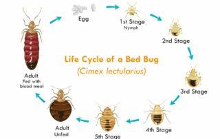 cycle de vie punaise de lit